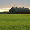 Old Barn In Canola Field by Jack Dagley