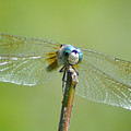 Old Blue Eyes - Blue Dragonfly by Bill Cannon