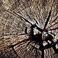 Old Dry Stump by Jozef Jankola