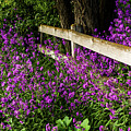 Old Fence And Purple Flowers by TL Mair