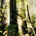 Old Growth Forest Light by Leland D Howard