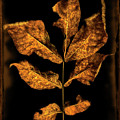 Old Hickory Leaf by Stanton Tubb