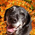 Old Labrador by Amy Vangsgard