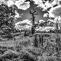 Old Oaks Bw.  by Leif Sohlman