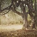 Old Olive Tree by Mythja  Photography