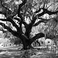 Old Plantation Tree by Melody Jones
