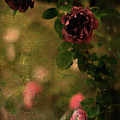 Old Roses by Rebecca Sherman