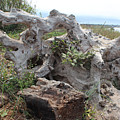 Old Stump At Gold Beach Oregon 4 by Lydia Miller