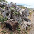 Old Stump At Gold Beach Oregon 5 by Lydia Miller