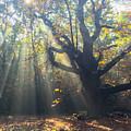 Old Tree And Sunbeams by Mo Barton