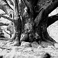 Old Tree Ground Up by Jean Macaluso