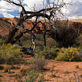 Old Tree In Capital Reef National Park by Cindy Murphy - NightVisions