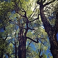 Old Trees by Sarah Jane Thompson