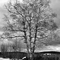 Old White Birch by Betty Pauwels