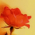 Old World Rose by Marsha Heiken