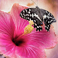 Old World Swallowtail On Pink Hibiscus by Susan Rissi Tregoning