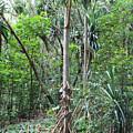 Oldest Tree In Secret Falls Or Uluwehi Falls by Rupali Kumbhani
