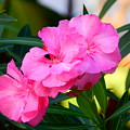 Oleander Blooming by Virginia Kay White