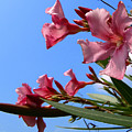Oleander Flowers Wilting In The Brutal Florida Sun  by Allan  Hughes
