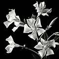 Oleander In Black And White by Endre Balogh
