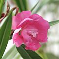 Oleander Splendens Giganteum 3 by Wilhelm Hufnagl