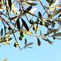Olives And Branch by Angela Rath