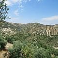 Olive Groves Near Iznajar by Chani Demuijlder