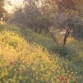 Olive Grovetuscany by Michael Hudson