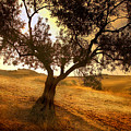 Olive Tree Dawn by Mal Bray