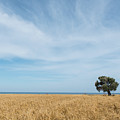 Olive Tree On The Wheat Field  by Michalakis Ppalis