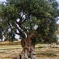 Olive Tree Sicily by Lutz Baar