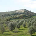 Olive Trees by Dennis Curry