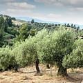 Olive Trees Hill by Goce Risteski