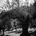 Olive Trees In Italy 2 by Andrea Mazzocchetti