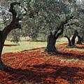 Olive Trees by Nino Marcutti