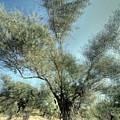 Olive Trees by Vladi Alon