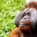 Ollie The Orangutang by Billy Soden