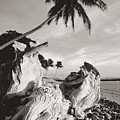 Olowalu Driftwood by Ron Dahlquist - Printscapes