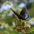 On Blue Wings by Weathered Wood