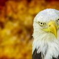On Fire The American Bald Eagle by LeeAnn McLaneGoetz McLaneGoetzStudioLLCcom