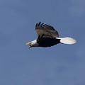 On Level Eagle In Flight by Daniel Earnhardt
