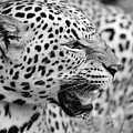 On The Hunt Bw by Keith Lovejoy