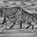 On The Prowl Bw by Mitch Johanson