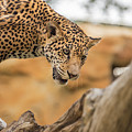 On The Prowl by Kristopher Schoenleber