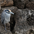 On The Rocks - Yellow-crowned Night Heron by Mitch Spence
