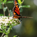 Once Upon A Butterfly 006 by Robert ONeil