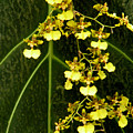 Oncidium Orchids by Rosalie Scanlon