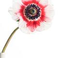 One Anemone by Ann Garrett