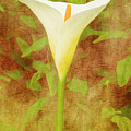 One Arum Lily by Terri Waters