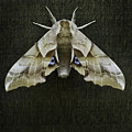 One Eyed Sphinx Moth by Herman Robert